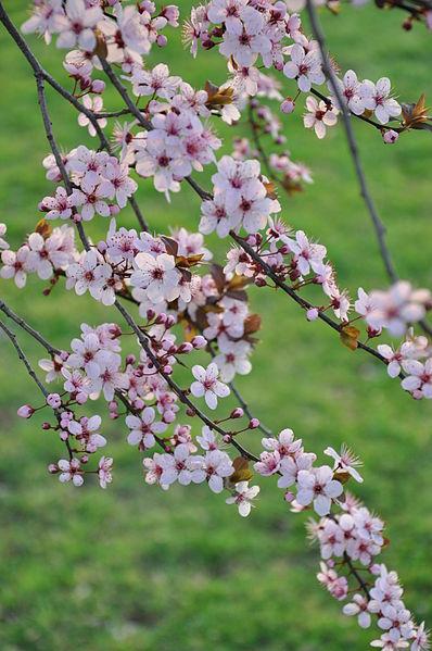 File:Spring in Somerville, NJ - 2012 File 3.JPG