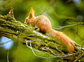 Squirrel on a branch (17210884512).jpg