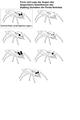 Stalking Verhalten von Springspinnen.png