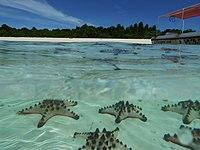 Asterio en Pom Pom Island-laguno