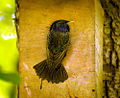 Starling on a nest box (17890702180).jpg