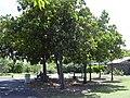 Starr-040318-0068-Calophyllum inophyllum-grove-Maui Nui Botanical Garden-Maui (24673430106).jpg