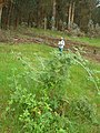 Starr-051123-5482-Rubus niveus-form a habit-Haleakala Ranch-Maui (24731879802).jpg