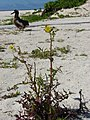 Starr-080604-5963-Sonchus oleraceus-flowering habit with Laysan albatross chick-South Beach Sand Island-Midway Atoll (24819709621).jpg