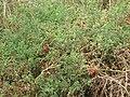 Starr-090707-2309-Solanum lycopersicum-fruiting habit-Waikapu-Maui (24875540571).jpg