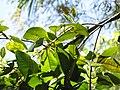 Starr-110330-4213-Pimenta dioica-flower with plantlets-Garden of Eden Keanae-Maui (24454550073).jpg