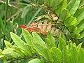 Starr-110609-6198-Gliricidia sepium-leaves-Shibuya Farm Kula-Maui (25003157371).jpg