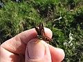 Starr-120403-4088-Aloe arborescens-seed capsule-Kula-Maui (25020170982).jpg