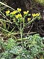Starr-120403-4116-Ruta graveolens-flowers-Kula-Maui (25112125126).jpg