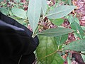 Starr-120425-4774-Syzygium cumini-leaves-Waikapu Valley-Maui (25046396611).jpg