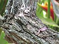 Starr-120522-6064-Erythrina crista galli-trunk and bark-Iao Tropical Gardens of Maui-Maui (24775404509).jpg