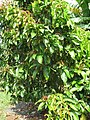 Starr-121108-1112-Syzygium malaccense-habit-Pali o Waipio-Maui (25103531831).jpg