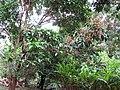 Starr-130312-2211-Mangifera indica-Rapoza flowers-Pali o Waipio Huelo-Maui (24911314540).jpg