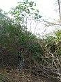 Starr-130319-1835-Cupaniopsis anacardioides-habit with Forest largest sapling found had fertile material-Kilauea Pt NWR-Kauai (25114945091).jpg