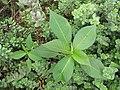Starr-130610-4753-Euphorbia heterophylla-habit-Kealia Pond NWR-Maui (25093585812).jpg