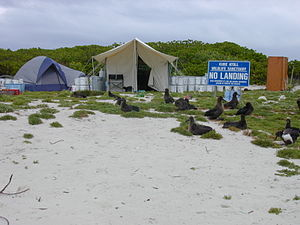 Kure Atoll - Volunteer tents and albatrosses at Kure
