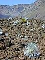 Starr 011003-0128 Argyroxiphium sandwicense subsp. macrocephalum.jpg