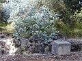 Starr 020911-0002 Acacia podalyriifolia.jpg