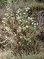 Starr 030405-0062 Ageratina adenophora.jpg
