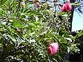 Starr 030702-0070 Calliandra haematocephala.jpg