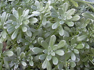 Heliotropium anomalum - H. a. var. argenteum