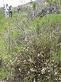 Starr 040131-0082 Ageratina riparia.jpg