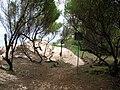 Starr 050121-3153 Prosopis pallida.jpg