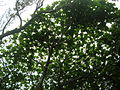 Starr 060422-9388 Terminalia catappa.jpg
