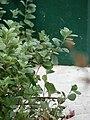 Starr 080601-5290 Vitex rotundifolia.jpg