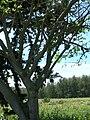 Starr 080604-9201 Erythrina variegata.jpg