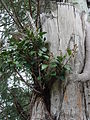 Starr 080607-7324 Ficus microcarpa.jpg