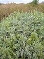 Starr 081230-0084 Artemisia australis.jpg