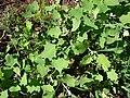 Starr 090121-0926 Chenopodium oahuense.jpg