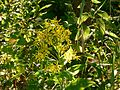 Starzec gajowy. (Senecio nemorensis L). 01.jpg