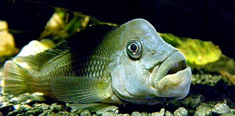 Yellala Falls - Steatocranus gibbiceps, a species of cichlid found in the lower Congo