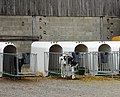 Steenwerck nursery pour bébé veau (1).JPG