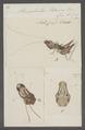 Stenopelmatus - Print - Iconographia Zoologica - Special Collections University of Amsterdam - UBAINV0274 066 01 0008.tif