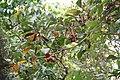 Sterculia tragacantha Bioko 2013.jpg