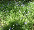 Stitchwort and Bluebells grow together in a glade. - geograph.org.uk - 1295314.jpg