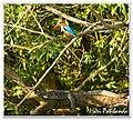 Stork Billed Kingfisher and a Monitor Lizard at Sungei Buloh Wetland Reserve, (3179175535).jpg