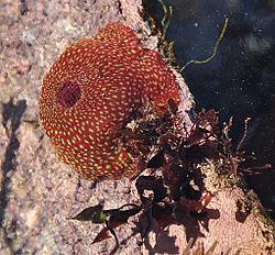 Une anémone fraise, avec ses tentacules rétractés, en Angleterre.