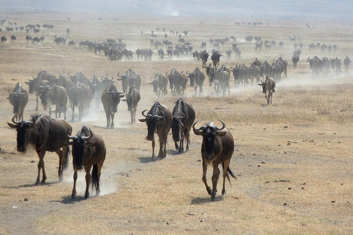 Streifengnus im Ngorongoro.jpg