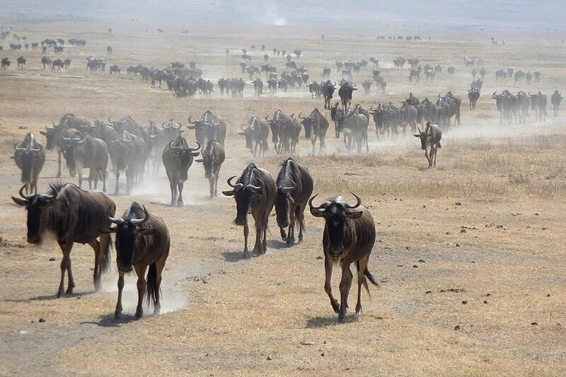 Archivo: ñus en Ngorongoro.jpg
