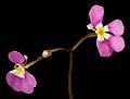 Stylidium sp. fleshy annual - Flickr - Kevin Thiele (2).jpg