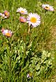 Subalpine Daisy (8560041283).jpg
