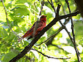 Summer Tanager 2 (7238721632).jpg