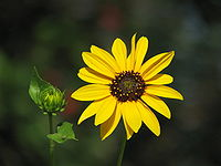 Sun Flower and a bud.JPG