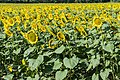 Sunflowers cultivated in Southern France 01.jpg
