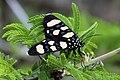 Superb false tiger moth (Heraclia superba).jpg