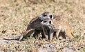 Suricatos (Suricata suricatta), parque nacional Makgadikgadi Pans, Botsuana, 2018-07-30, DD 30.jpg